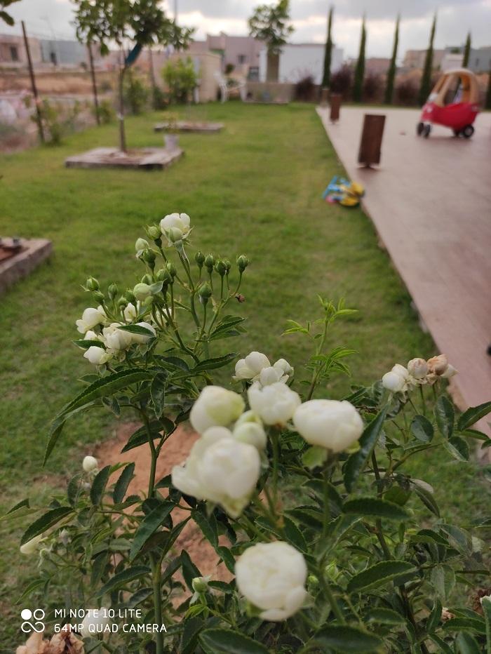 גיזום וטיפוח ורדים